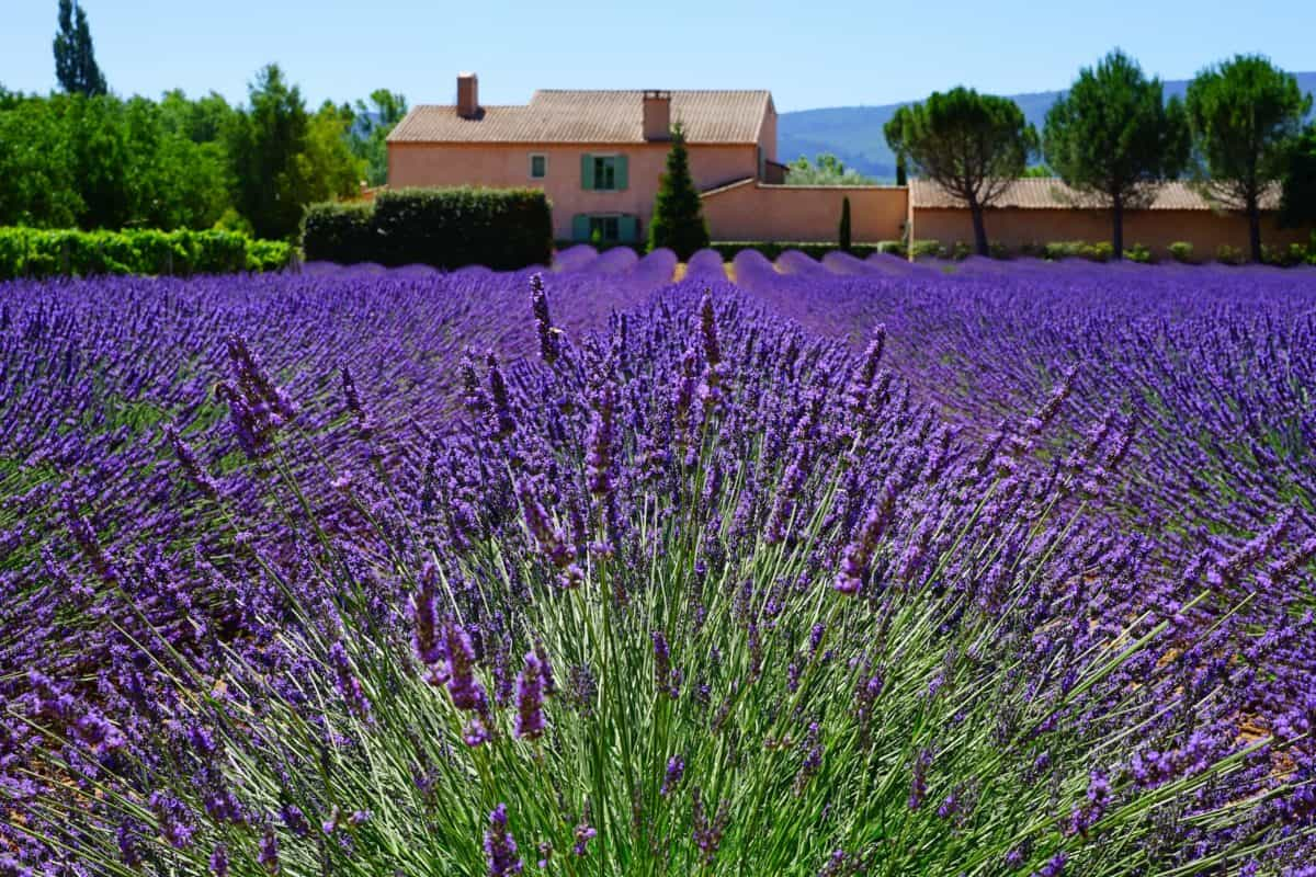 Lavender Fields France Map.Where To Visit Lavender Fields In Provence This Summer Frenchly